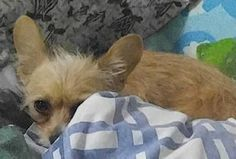 """""""Little Fox"""" saved his male owner from a vicious pit bull attack, but lost his own life doing so. The man escaped without serious injury, thanks to this little hero. R.I.P. Little Fox. (Click pic for post.)"""
