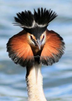 Great Crested Grebe by Astland Photography. The Great Crested Grebe (Podiceps cristatus) is a member of the grebe family of water birds. Kinds Of Birds, All Birds, Love Birds, Pretty Birds, Beautiful Birds, Animals Beautiful, Beautiful Pictures, Exotic Birds, Colorful Birds