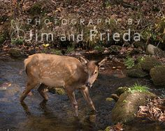 Took this image of an elk fawn in the Smokies about this time last year.  Hope you will come see it and some of our other new work at the Mentone Colorfest today and tomorrow in Mentone, AL!  We'll be there with lots of other artists offering some unique items to let you get your Christmas shopping done early!  Hope to see you there. (Zasha will be with us, too!)