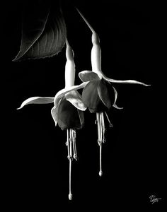 Fuschias in Black and White