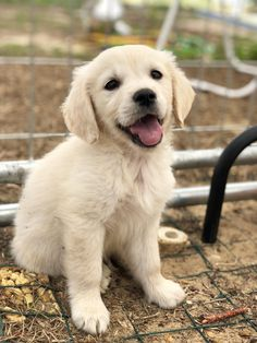 The Versatile Golden Retriever - Champion Dogs Cute Dogs And Puppies, Little Puppies, I Love Dogs, Doggies, Retriever Puppy, Dogs Golden Retriever, English Golden Retrievers, Fox Terriers, Cute Baby Animals