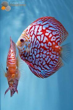 Discus fish. Poisson Discus. Les discus forment un genre de poissons d'eau douce de la famille des Cichlidae. Ce genre regroupe deux espèces : le Discus de Heckel et le Discus commun. Nom scientifique : Symphysodon. Cf. Wikipédia