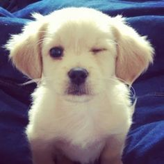 This cute lab!!!!(wink)