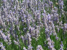 How to Prune and Harvest Lavender in 6 Steps