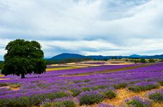 Bridestowe lavender farm, Tasmania, Australia. The farm is best visited between December and January, when it is in full bloom.