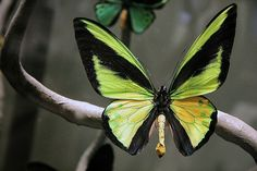 Tithonus Birdwing(Ornithoptera tithonus) native to Papua New guinea, this butterfly like all birdwing butterflies is a CITES protected species.
