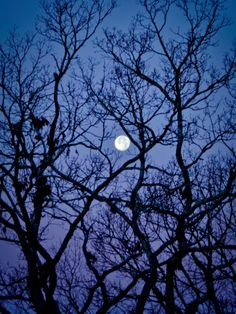 The Full Moon Peaks Between the Bare Branches of a White Oak Tree Photographic Print by Amy & Al White & Petteway at AllPosters.com