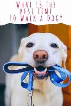 what is the best time to walk a dog Fun Facts About Dogs, Dog Facts, Dog Health Tips, Dog Activities, Dog Care Tips, Labrador Retriever Dog, Dog Park, Dog Behavior, Dog Quotes