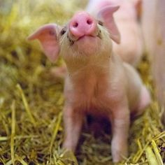 Visit the @mnzoo's annual #FarmBabies event April 1-30 to see this adorable piglet. Photo credit: @zootographer #dayatthemnzoo #OnlyinMN
