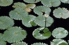 * Ninféia *  (Nimphaea ampla).