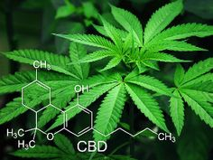 CBD is a compound derived from the cannabis plant. Also known as cannabidiol, CBD is non-psychoactiv Cannabis News, Medical Cannabis, Make Money Online, How To Make Money, Endocannabinoid System, Oils For Dogs, Cannabis Plant, Cannabis Oil, World Market