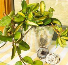 Hoya (or wax plant)