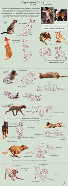 The third part in the Dog Anatomy Tutorial; focusing on basic body positions. Running Cycle: Dog Anatomy Tutorials: Part One: Body Parts Part Two: Breeds Part Three: Body Positions Part Four: Emoti...