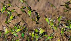 Flock of wild budgies in Australia