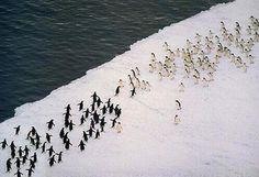 """""""@PaisajesGeo: Batalla de pingüinos. pic.twitter.com/gluO6twbhR"""" Fútbol en el hielo @AnimalesProtege @NoticieroAnimal @AnimaNat_Col @GataMashu"""