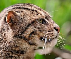 The Iriomote Cat  is a subspecies of the Leopard Cat that lives exclusively on the Japanese island of Iriomote. It has been classified as Critically Endangered; there are an estimated 100–109 individuals remaining. The Iriomote Cat is, genetically, probably one of the first felids to ever walk the earth.