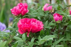 Discover which plants to deadhead in order to get the best from them and improve their performance, with expert help from BBC Gardeners' World Magazine.