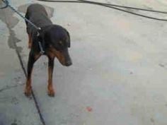 A927936-URGENT KERN is an adoptable Doberman Pinscher Dog in Bakersfield, CA. PLEASE SAVE ME. I AM CURRENTLY AT THE KERN COUNTY BAKERSFIELD ANIMAL SHELTER. To obtain further information, have the PET ...