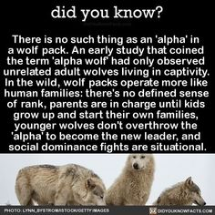 There is no such thing as an 'alpha' in a wolf pack. An early study that coined the term 'alpha wolf' had only observed unrelated adult wolves living in captivity. In the wild, wolf packs operate more like human families: there's no defined sense of<br> Animals And Pets, Funny Animals, Cute Animals, Funny Pets, Facts About Wolves, All About Wolves, Beautiful Creatures, Animals Beautiful, Of Wolf And Man