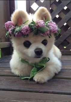 Spring time Pomeranian