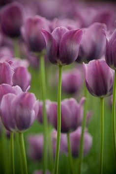 Tulips. That would be my favorite kind of tulips. Those and white ones. Sometimes combined... (Daydreamy sigh)