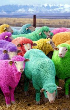 Lamb chops in colors, lol...