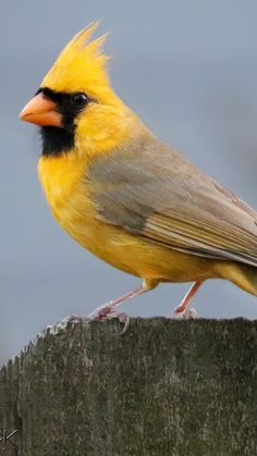 ~ Yellow cardinal (Gubernatrix cristata) The yellow cardinal, is a species of bird in the family Thraupidae. It is the only member of its genus, Gubernatrix. Rare Birds, Exotic Birds, Colorful Birds, Most Beautiful Birds, Pretty Birds, Animals Beautiful, Nature Animals, Animals And Pets, Cute Animals