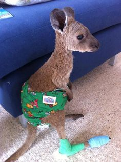 This poor kangaroo is so adorably cute I can't stop looking at him.  He's wearing underoos! poor baby