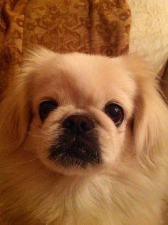 Mugsy the Pekingese!