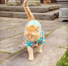 Just A Cat In A Hawaiian Shirt walking the walk .