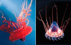 Atolla & Periphilla Jellyfish