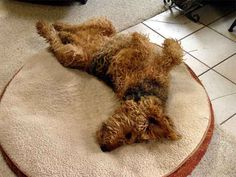 Typical airedale sleeping position; they aren't comfortable unless they look like they've been in a train wreck!