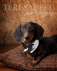 Such a sweetie! Tyler is an adoptable Dachshund Dog in Colleyville, TX. UPDATE: Tyler is completely healthy and looks great these days! With his handsome appearance and charming personality, he will make a lovely dac...