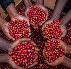 A roaster's guide to Ugandan #SpecialtyCoffee