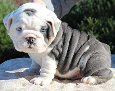 Gray and White Bulldog Puppy with wrinkles