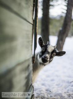 #goatvet likes this photo of an inquisitive goat from Tangible farm, USA