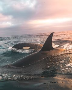 Ocean Life on As close to a perfect moment as I can imagine. Flat calm seas, a rose gold sunset, and wild orcas swimming all around me. Beautiful Sea Creatures, Animals Beautiful, Orcas Swimming, Animals And Pets, Cute Animals, Strange Animals, Delphine, Ocean Creatures, Tier Fotos