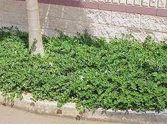 Carissa macrocarpa 'Green Carpet'