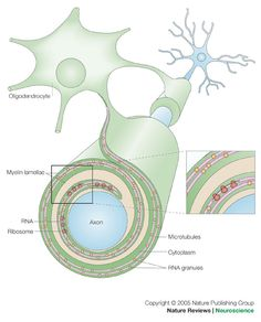 myelin sheaths, a covering over some of your brain's neurons, helps to speed information being passed. Multiple Sclerosis (MS) is a disease that affects this coating and causes serious problems for those who have it.