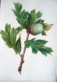 Botanical illustration by Mary Lind idea of painting my acorns with chalk paint. Botanical Drawings, Botanical Illustration, Botanical Prints, Watercolor Illustration, Plant Painting, Nature Decor, Floral Illustrations, Botany, Mint
