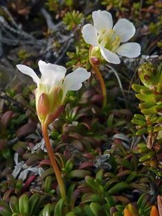 Diapensia Lapponica | Diapensia lapponica (Lapland diapensia) (SPECIES)