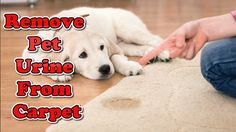 How to Remove Pet Urine from Carpet | Pet Urine Remove | Pet Stain Remover ======================================================  This short tutorial will explain the basic steps to removing pet urine and the odor associated with pet urine from carpet carpet padding and the sub floor.   Walking into a house that smells like dog or cat urine is a foul experience for most people. As much as you try to clean the carpet you may not be able to solve the problem of the odor unless you replace the…