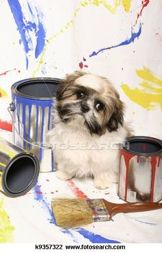Shih tzu Stock Photos and Images. 1074 shih tzu pictures and royalty free photography available to search from over 100 stock photo brands. (Page 4)