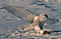 Mục kích chim cú trắng hạ cánh thần tốc, tóm gọn chuột trong chớp mắt - Lao Động