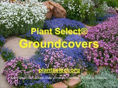 Learn about the winning groundcovers from Plant Select® with Pat Hayward, Executive Director. Taped as a Colorado State University Master Gardener training s. Shade Garden Plants, Colorado State University, Landscaping Plants, The Selection, Lawn, Grass, Garden Ideas, Handle, Gardening