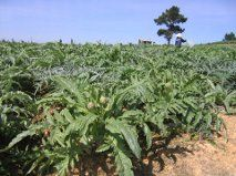 Dalat, Vietnam had fields of artichoke as we took the little train out of the city!