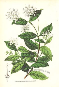 Antique print: picture of Chinese Star Jasmine (Trachelospermum jasminoides) - China