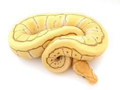 Banana Butter Desert Ghost Pinstripe - Morph List - World of Ball Pythons