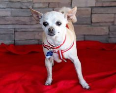 Our senior Chi is 8 years young. Bonita, is spirited, enjoys playtime, loves to cuddle, and will burrow under the blankets.....(with or without you). She loves walks and making friends with other animals. Bonita, is quite the girly girl. She is looking for her loving forever family and is located in Fresno, Ca. For more info about our sweet Bonita or our other seniors, please call 559-261-5746. elderpawsrescue.org