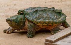 Tartaruga aligator - cagado mordedor - animal extremamente perigoso - com mandibulas fortes com capacidade de amputar um dedo